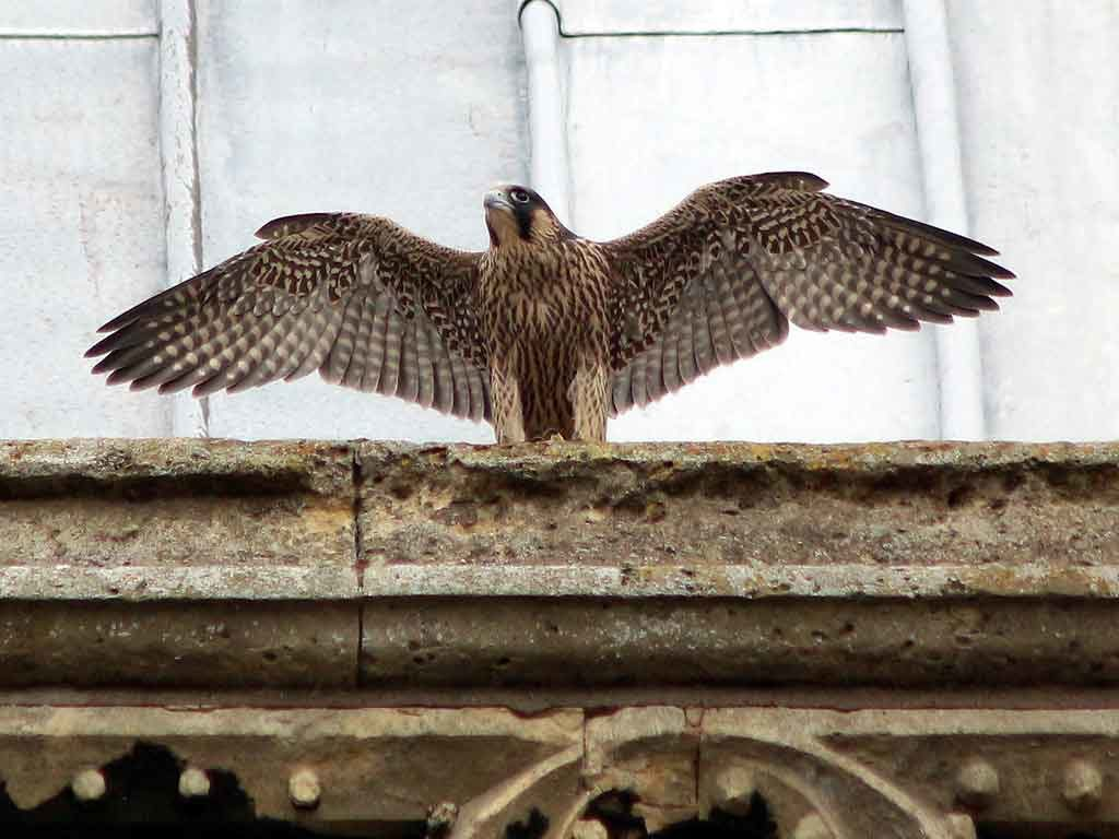 Young Peregrine
