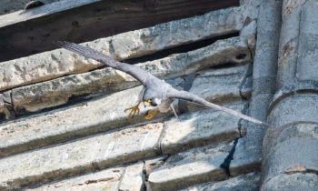 Lincoln Cathedral News - Live Peregrine cam watching for chicks to hatch